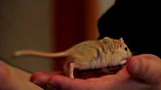 Pet Rodents : How To Train A Gerbil
