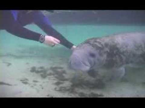 A Manatee Encounter at Crystal River