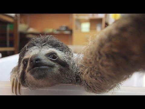 大家可能有聽過樹懶叫,但是你有看過樹懶自拍嗎?