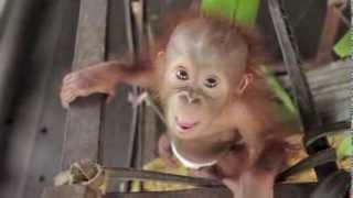 Video Baby Orangutan Rickina! MP3, 3GP, MP4, WEBM, AVI, FLV Mei 2017