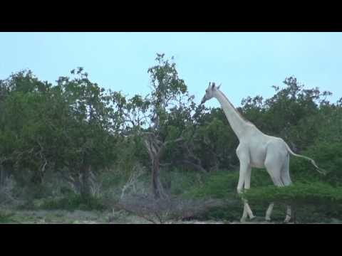 Video Of A Rare White Giraffe And Her Calf Spotted In
