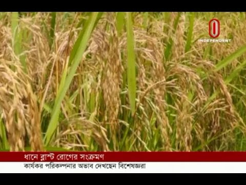 Blast disease inflicts on paddy (26-04-2019) Courtesy: Independent TV