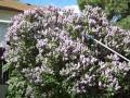 Colorado Miller Moths invade a lilac bush - YouTube
