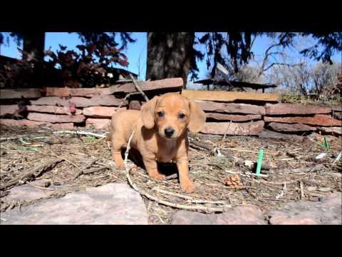 Bailey English Cream Dapple Mini-Dachshund Puppy for sale