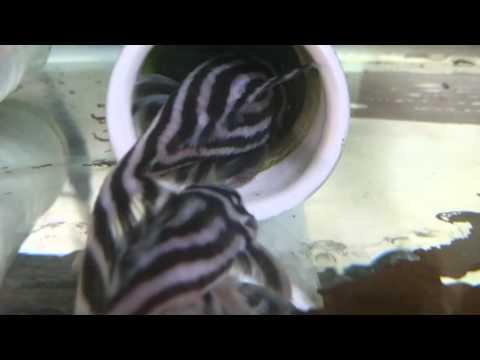 インペリアルゼブラプレコ繁殖行動(産卵前)