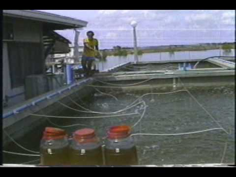 Hatchery/Nursery Production of Prawn Fry