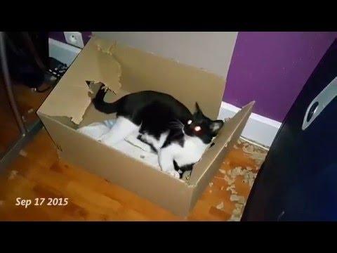 Кот ест коробку