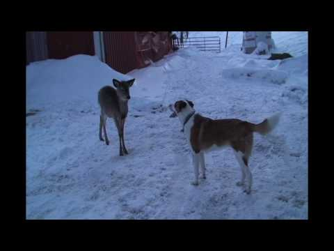Excellent Puppy v. Deer Video — one of the year's ten best!
