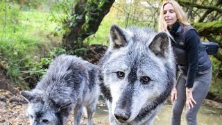 Download Video MASSIVE CANADIAN WOLVES UP CLOSE - Wolf Girl Anneka MP3 3GP MP4