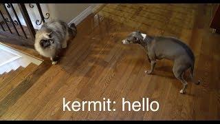 Video My Dogs Meet A Cat MP3, 3GP, MP4, WEBM, AVI, FLV Juli 2018