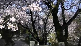 Takasaki Japan  city pictures gallery : Cherry Trees @ Takasaki, Gunma Japan