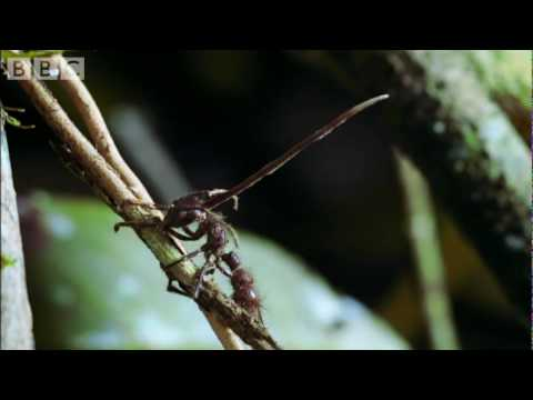 Cordyceps%3A attack of the killer fungi - Planet Earth Attenborough BBC wildlife