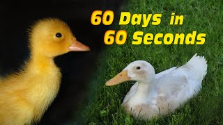 Video Duckling to Duck in 60 Seconds MP3, 3GP, MP4, WEBM, AVI, FLV Desember 2018
