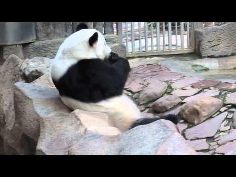 lazy panda - Lazy Panda Chiang Mai Zoo Ling Pin (?) Thailand Vacation at Bangkok, Chiang Mai & Phuket. March 2013 --Watch in HD-- :) Runsame ::: http://www.youtube.com/us...