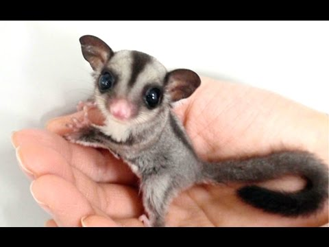 Sugar Glider - A Funny And Cute Sugar Glider Videos Compilation || NEW HD