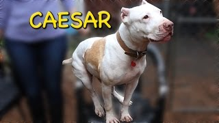 Caesar (CHUCKLES) - Pit Bull Terrier / Mixed (short coat) Dog For Adoption