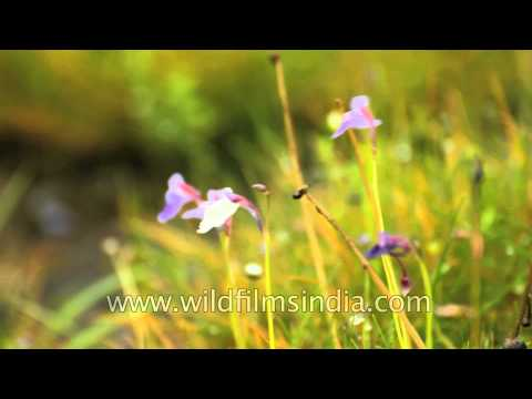 how to grow utricularia graminifolia emersed
