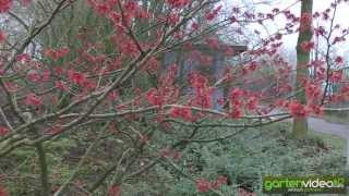 #990 Japanische Zaubernuss - Hamamelis japonica Rubin