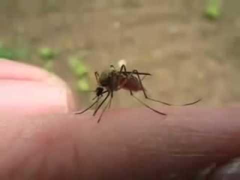 實拍!蚊子吸血吸到飽的模樣