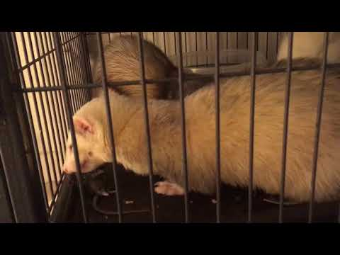 Ferrets With Fresh Feeder Mice -WARNING GRAPHIC WHOLE PREY FEEDING