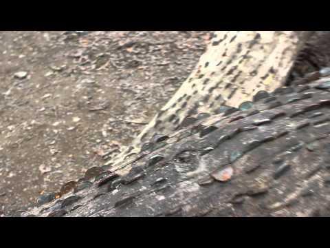 真有「搖錢樹」?百年許願樹枝幹長滿硬幣!