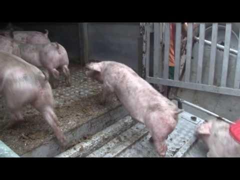 B 485: Anhänger mit 200 Schweinen umgekippt