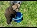 Funny Bear Cub Tries To Swim In Bucket Of Water - animals, bear, cub, grizzly, water, funny