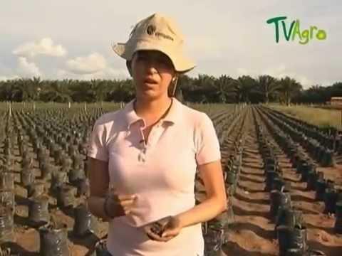 cultivo de caucho - Introduccion Indupalma Twitter @juangangel El cultivo del caucho brinda una gran oportunidad para el desarrollo agrícola de varias regiones de Colombia, debi...