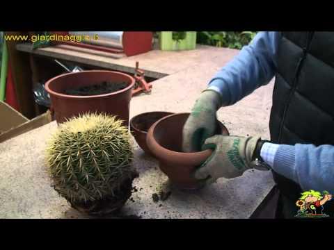 come rinvasare le piante grasse senza pungersi