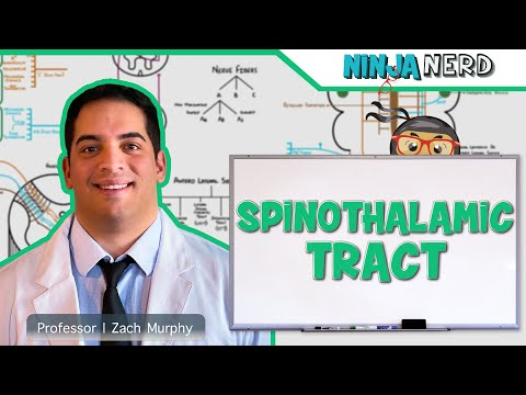 Ascending Tracts   Spinothalamic Tract