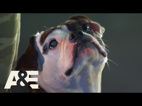Minion the Shorty Bull Beats ALL K9 Dogs to Win Competition | America's Top Dog (Season 1) | A&E