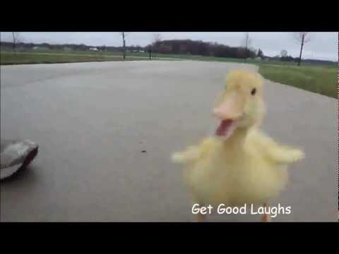 小鴨子把人類當成媽媽,緊跟在腳邊黏牢牢,模樣可愛到破表!