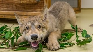 Cute Baby Wolf Puppy Playing at the San Diego Zoo - YouTube
