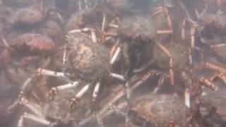 """«Кадр из фильма """"Чужой""""»: миграция тысяч крабов-пауков у побережья Австралии"""