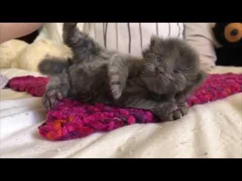 Gattino orfano bisognoso di un amico viene adottato da 3 gattine sorelle