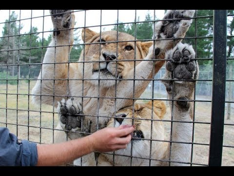 Lion Encounter at Orana Wildlife Park