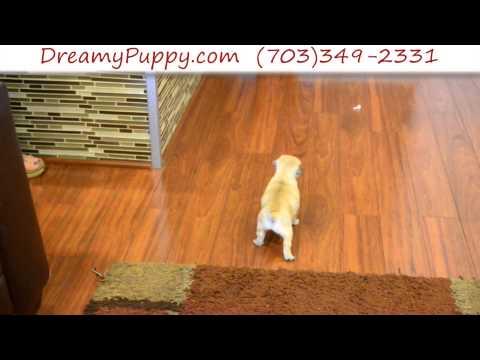 Loving Pocket Puggle Male Puppy