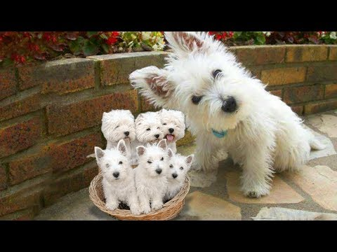 Westie- The White Terrier Dog Breed Giving Birth To Cute Puppies