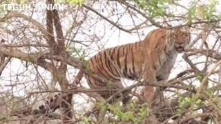 Video lihat hewan ini melakukan sesutu untuk terhindar dari sang predator harimau MP3, 3GP, MP4, WEBM, AVI, FLV Oktober 2018
