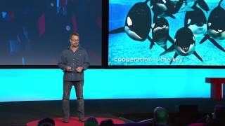 In this intriguing talk, Scott Gass discusses the social structure of killer whales and their superb communication skills when it comes to hunting and protecting their young. Their brand of teamwork is tremendously applicable beyond the ocean.TEDArchive presents previously unpublished talks from TED conferences.Enjoy this unedited talk by Scott Gass.Filmed at TEDActive 2014.NOTE: Comments are disabled on this video. We made this difficult decision for the TED Archive because we believe that a well-moderated conversation allows for better commentary from more people and more viewpoints. Studies show that aggressive and hateful comments silence other commenters and drive them away; unfortunately, YouTube's comment moderation tools are simply not up to the task of allowing us to monitor comments on so many videos at once. (We'd love to see this change, YouTube.) So for now, if you'd like to comment on this talk, please use Facebook, Twitter or G+  to discuss with your networks.