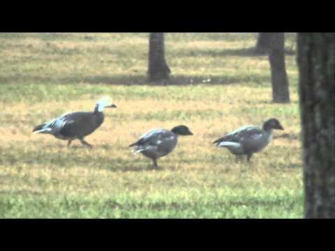 Blue (Morph) Snow Goose