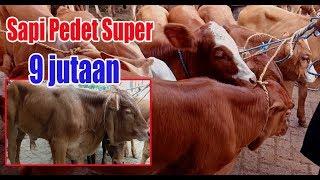 Video Sapi Pedetan Super Harga 9 Jutaan Pasar Sapi Pon Blora 23 Januari 2019 MP3, 3GP, MP4, WEBM, AVI, FLV Januari 2019
