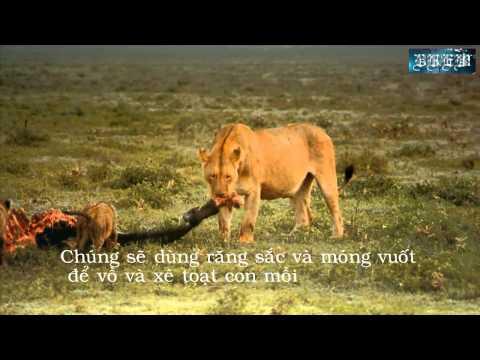 Clip về một số tập tính của động vật (sư tử)