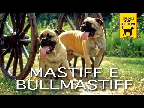 mastiff and bullmastiff