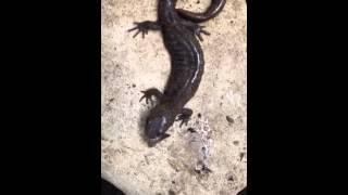 L'heure du lunch des salamandres