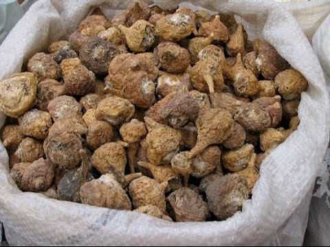 Maca Root For Herbal Energy And Endurance