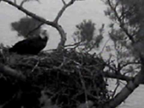 3 minute maine - 3 minute visit by Maine Bald Eagle video includes slow motion entrance and exit .. An zoom in...