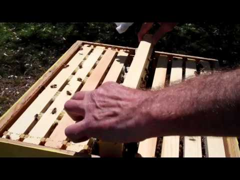 RicsBees Backyard Beekeeping Hive 2 inspection