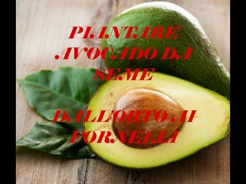 come coltivare una pianta d'avocado in casa propria