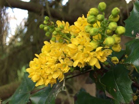 mahonia aquifolium – caratteristiche